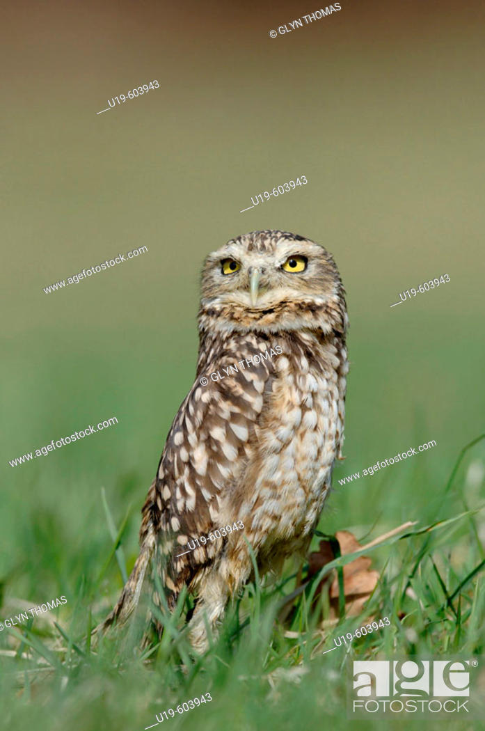 Stock Photo: Burrowing Owl (Athene cunicularia).
