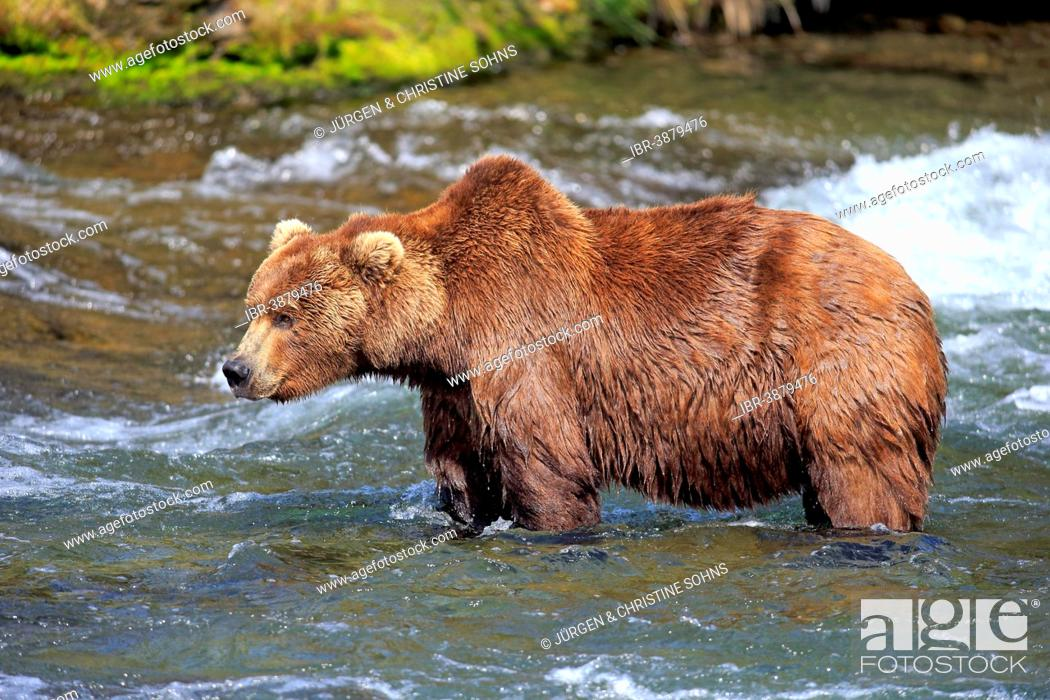 Stock Photo: Grizzly Bear (Ursus arctos horribilis) adult, foraging in the water, Brooks River, Katmai National Park and Preserve, Alaska, United States.