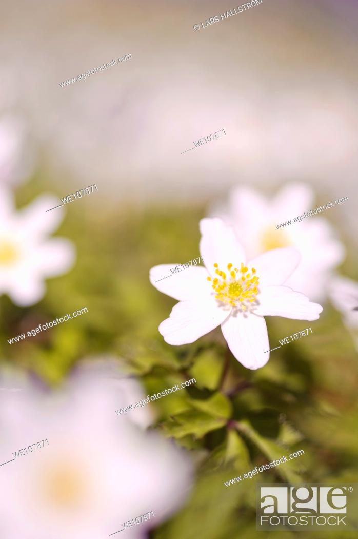 Stock Photo: Wood Anemone Anemone nemorosa, Sweden.