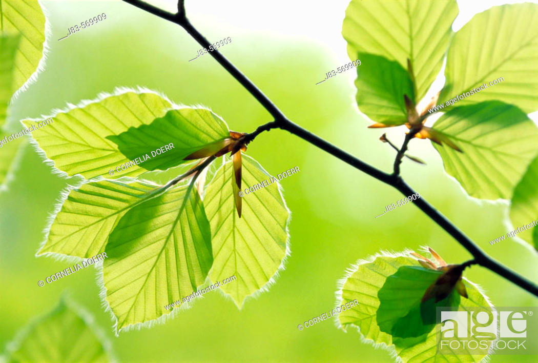 Stock Photo: Leaves beech tree in spring. Germany.