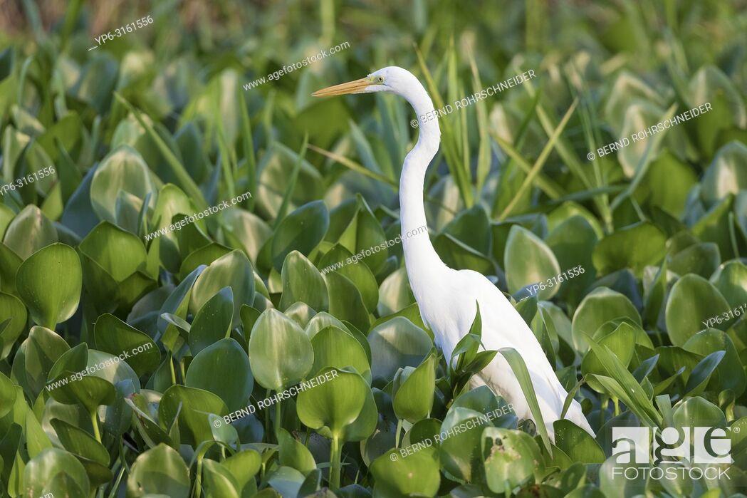 Stock Photo: Great egret (Ardea alba), adult standing in water plants, Pantanal, Mato Grosso, Brazil.