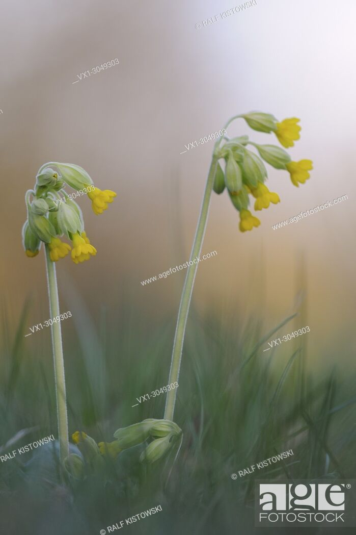 Stock Photo: Close up of yellow blossoming Common cowslip / Echte Schluesselblume (Primula veris).