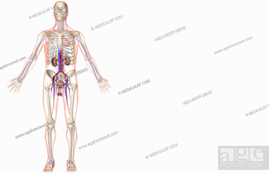 Stock Photo: The urinary and the vascular system.