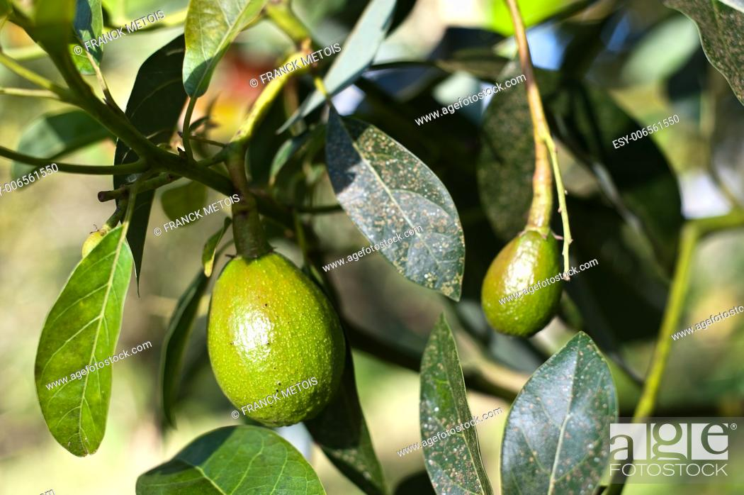Stock Photo: Unripe avocados in a tree in the south of Ethiopia.