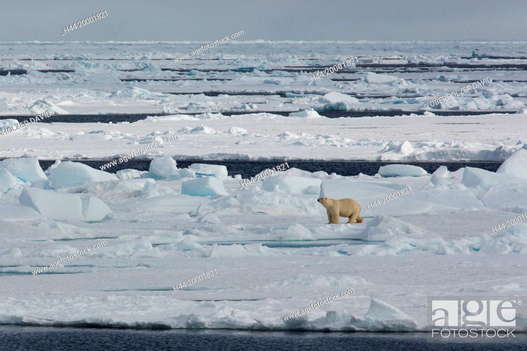 Photo de stock: Spitsbergen, ice, polar bear,.