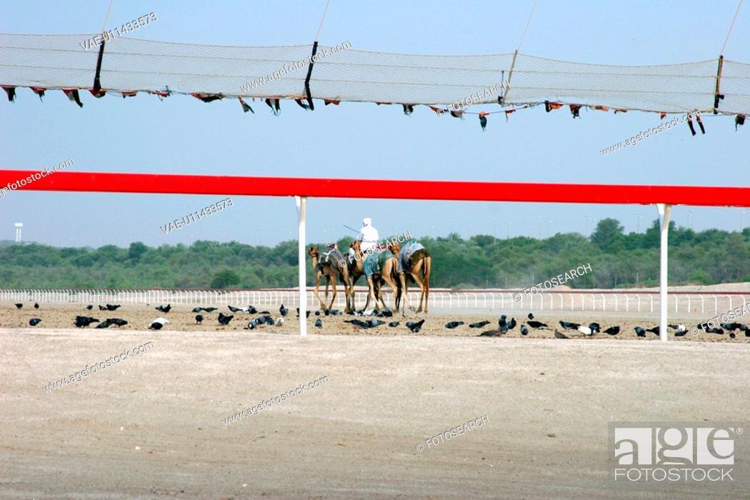Stock Photo: race, track, camels, dubai.