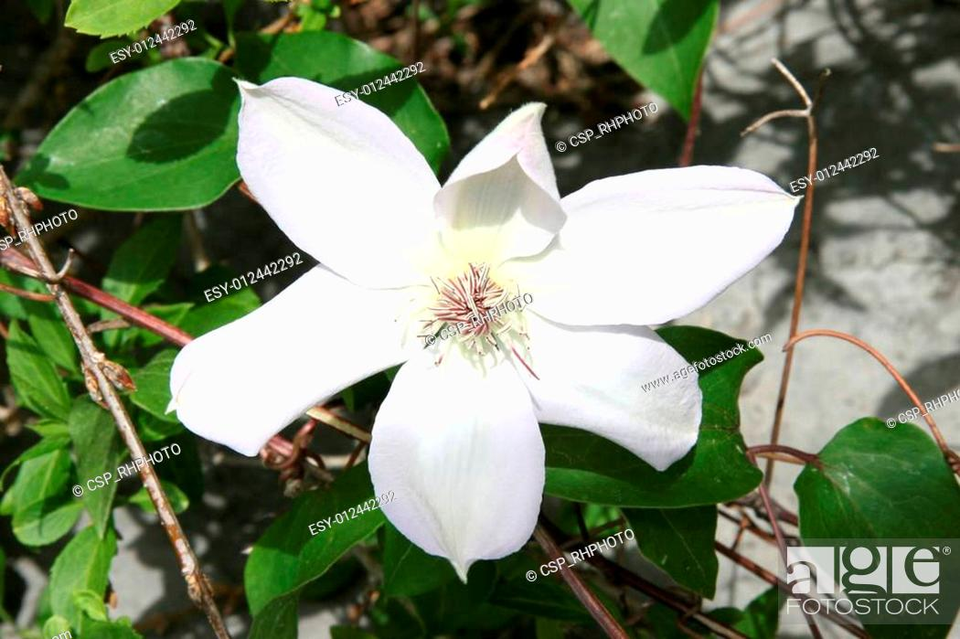 Stock Photo: Clematis Flower White and Red.
