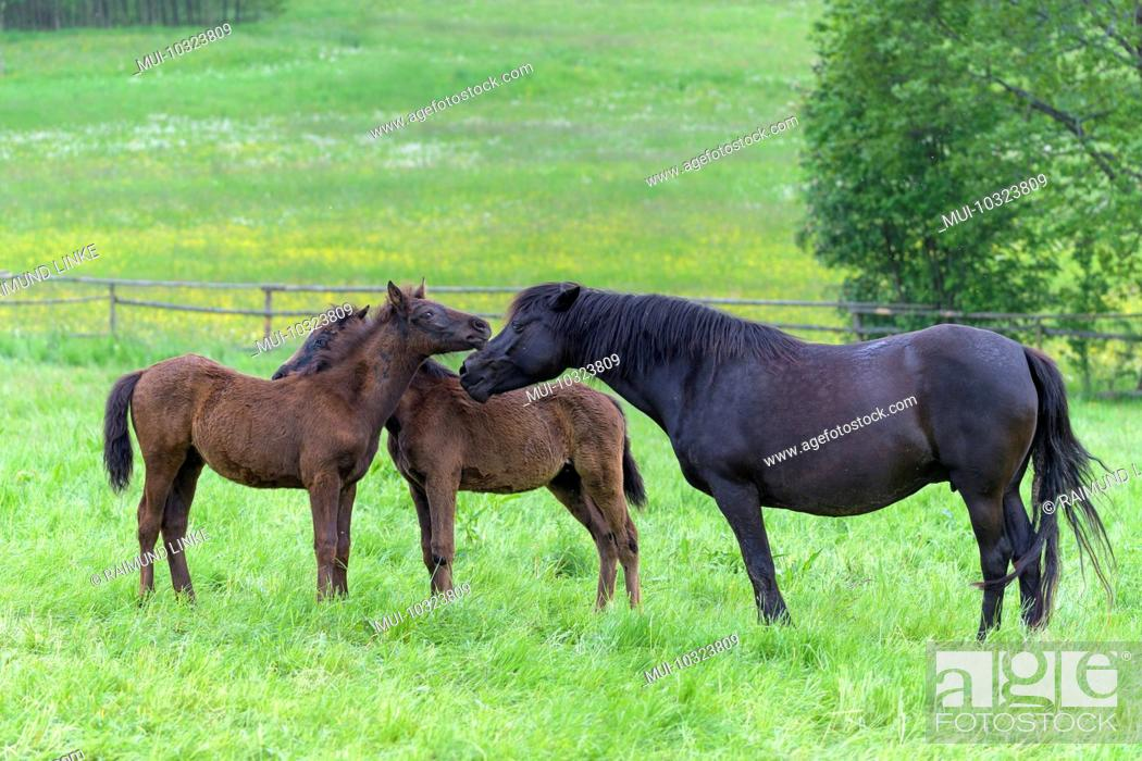 Stock Photo: Domestic horse, mare with two foal on the pasture.