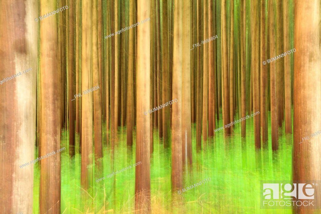 Stock Photo: Trees in forest, Schwangau, Allgaeu, Bavaria, Germany, Europe.