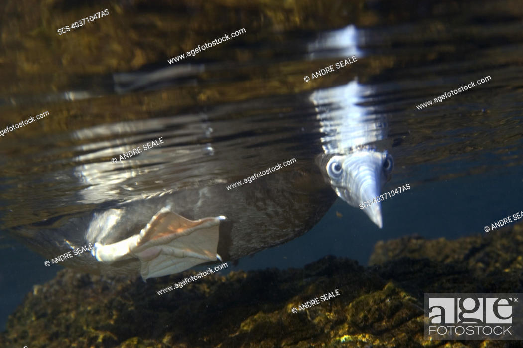 Stock Photo: Brown booby, Sula leucogaster, foraging underwater, St Peter and St Paul's rocks, Brazil, Atlantic Ocean.