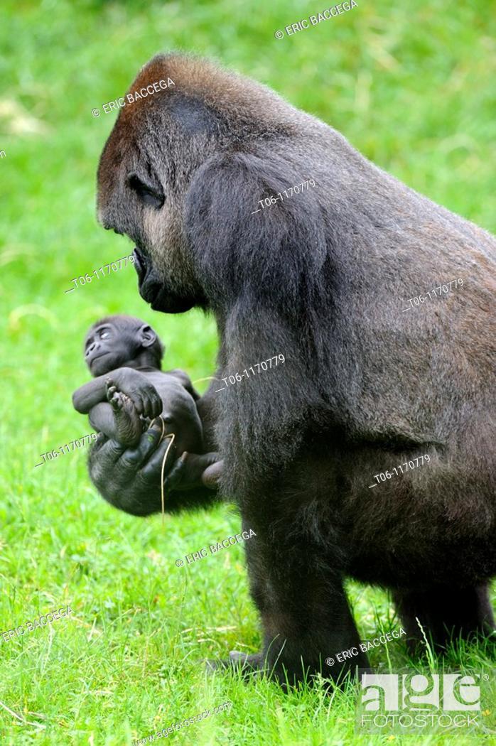 Stock Photo: Western lowland gorilla Gorilla gorilla gorilla Mother with baby, captive, Endangered.