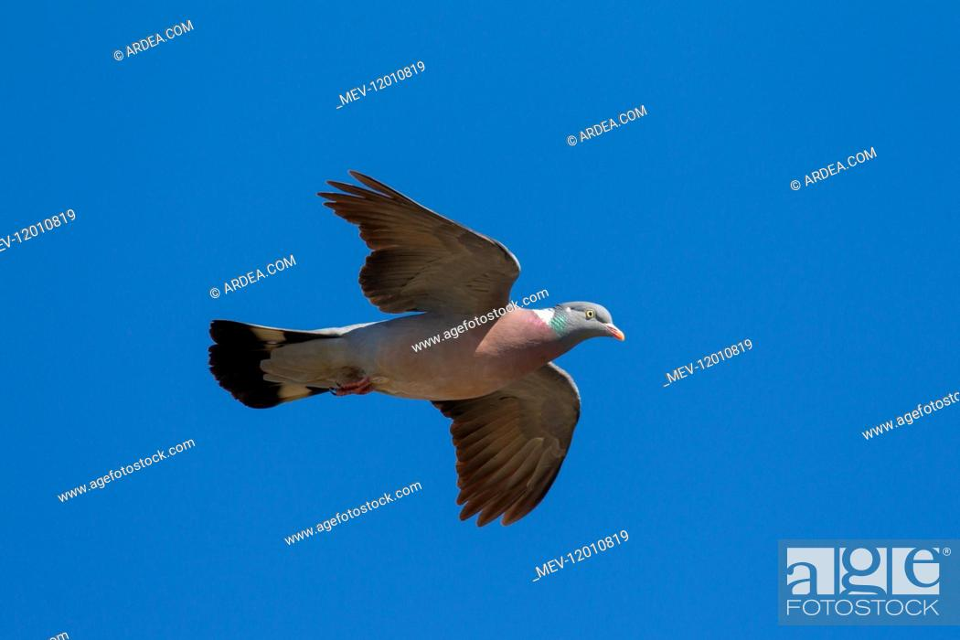 Stock Photo: Wood Pigeon - adult in flight - Germany.