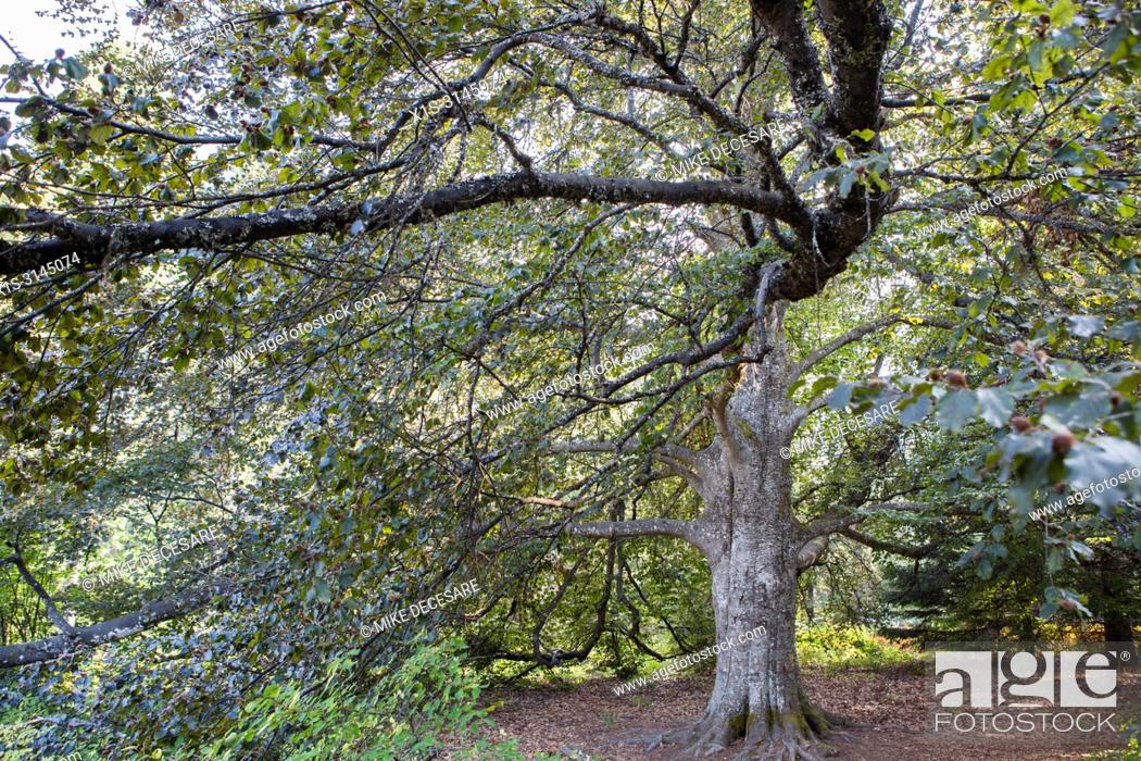 Stock Photo: A magnificent beech tree on a hillside above Kokanee Lake in British Columbia, Canada, is a reminder that an estate once existed on the site that would become.