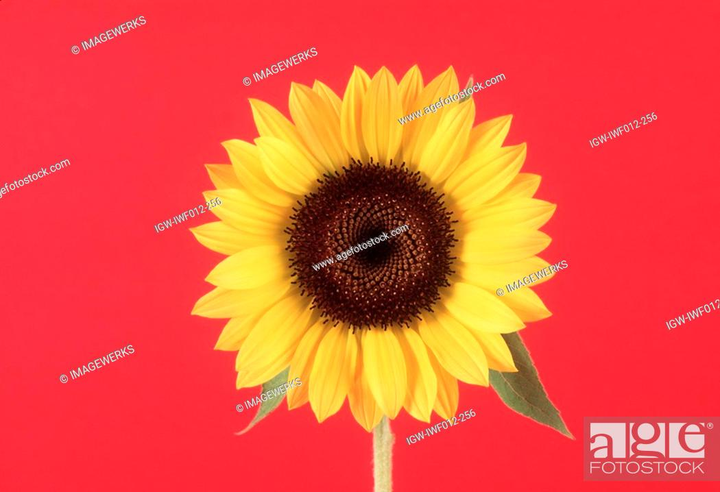 Stock Photo: Close-up of a sunflower.
