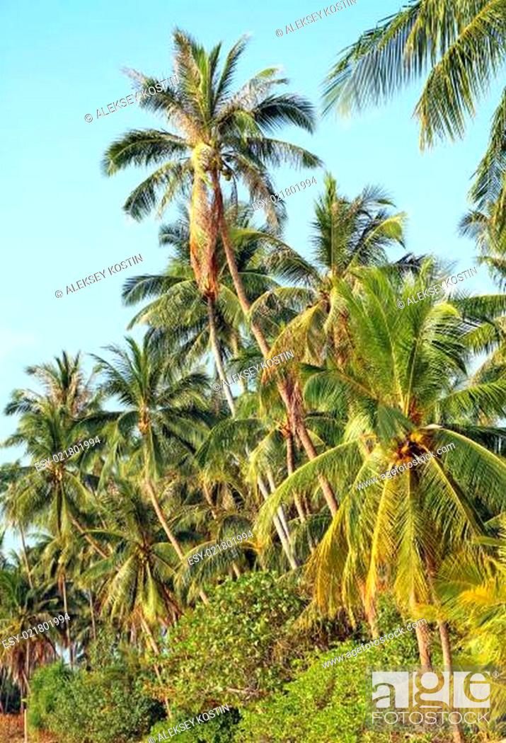 Stock Photo: coconut tree.