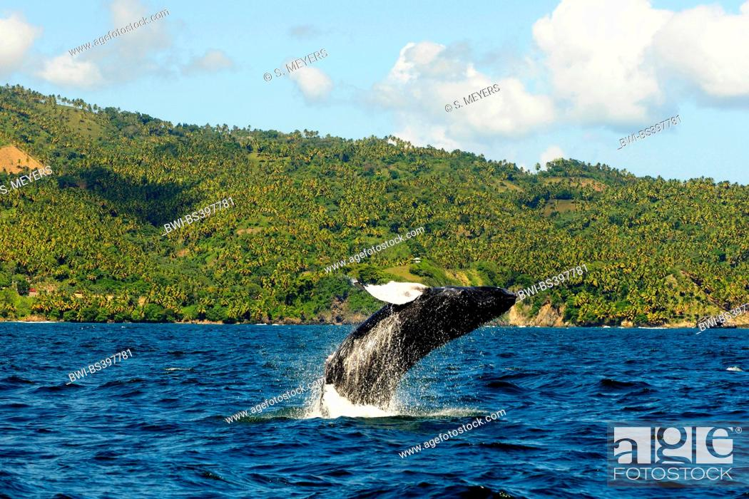 Stock Photo: humpback whale (Megaptera novaeangliae), humpback whale jumps out of the water, Dominican Republic, Samana.