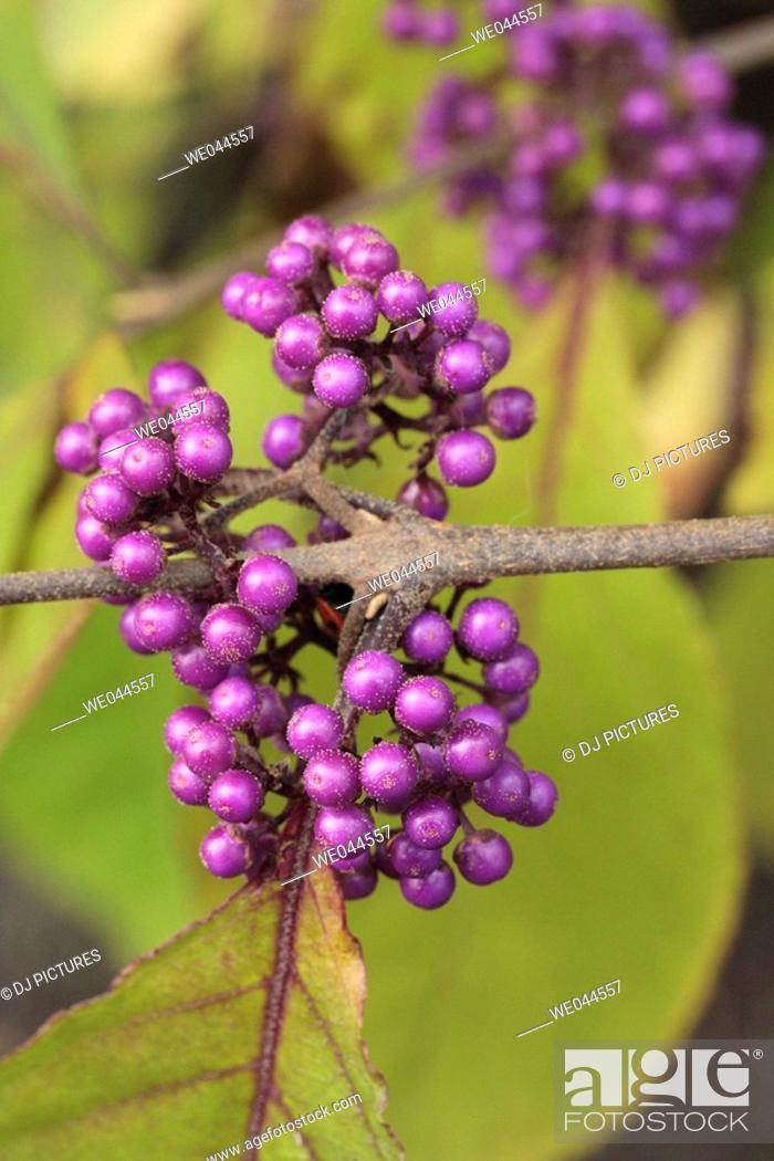 Stock Photo: Beauty berry (Callicarpa bodinieri).