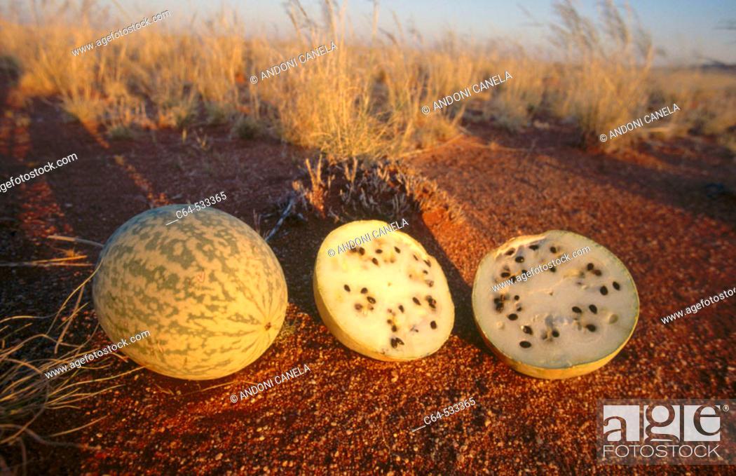 Stock Photo: Tsamma Melon.(Citrullus Lanatus). Namibia.