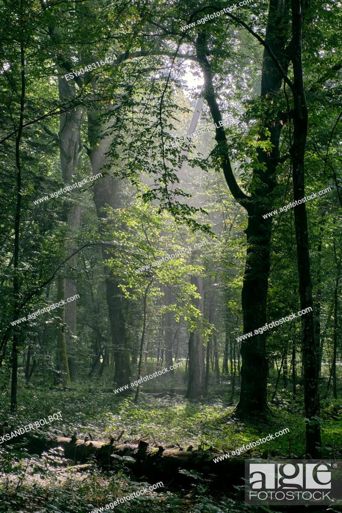 Stock Photo: Deciduous stand with hornbeams and oak in summertime misty morning, Bialowieza Forest, Poland, Europe.