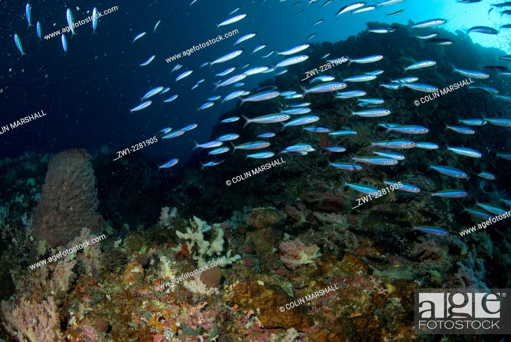Stock Photo: School of Bluestreak Fusiliers (Pterocaesio tile), Kadola dive site, Pulau Penyu, Banda Sea, Moluccas, Indonesia.