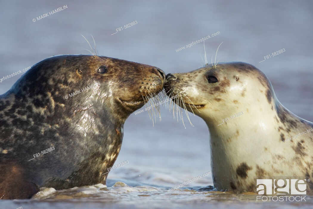 Stock Photo: Grey Seal  (Grypus halichoerus) male & female nose to nose. North Lincolnshire, UK. November 2005.