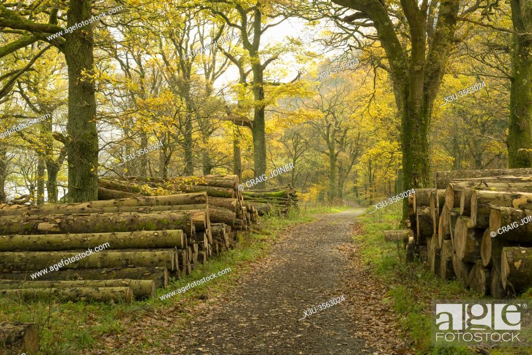 Stock Photo: A path though Holme Wood in Autumn on the shore of Loweswater in the Lake District National Park, Cumbria, England.