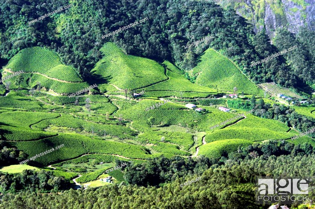 Stock Photo: TEA PLANTATION AND NATURAL FOREST BLENDING TOGETHER, MUNNAR.