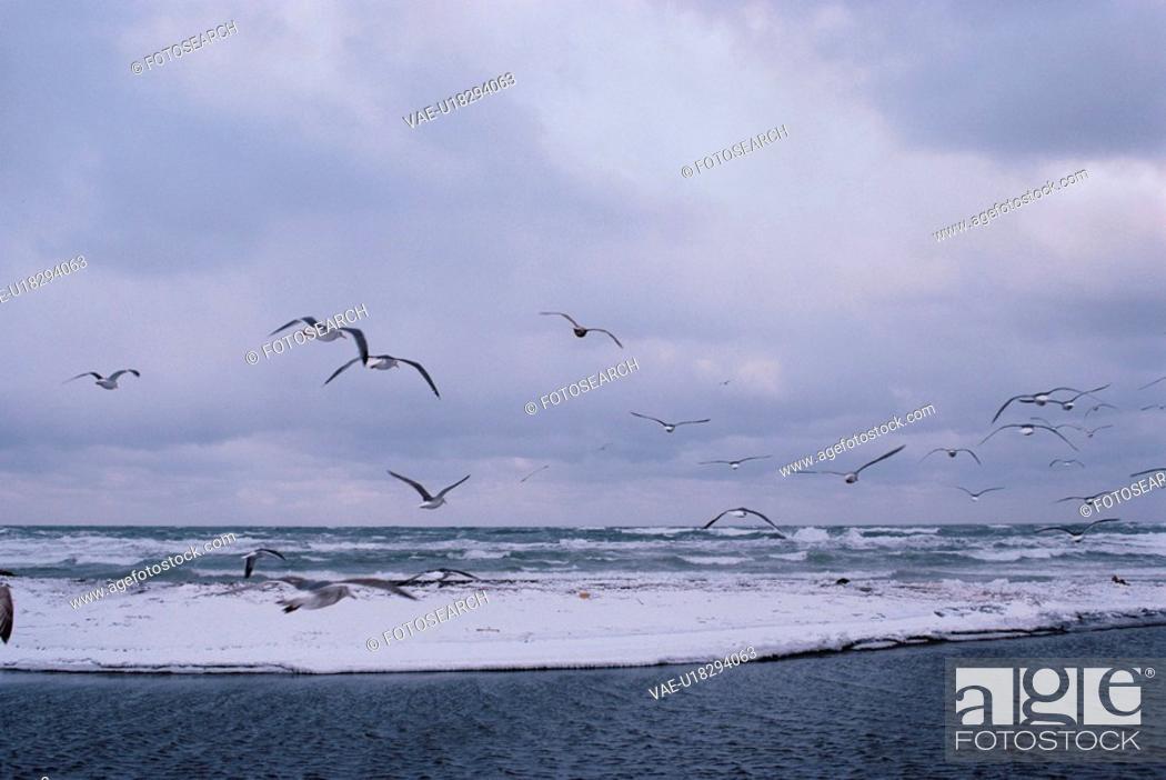 Stock Photo: Flock Of Herring Gulls.