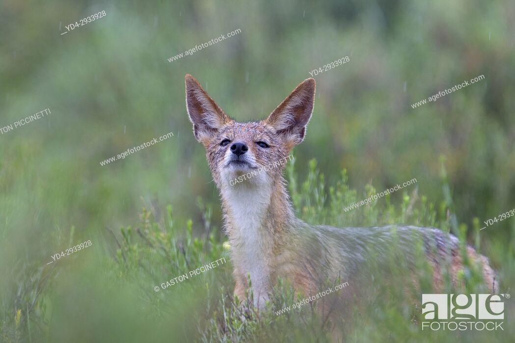 Stock Photo: Black-backed Jackal (Canis mesomelas) in the rain, Kgalagadi Transfrontier Park, Kalahari desert, South Africa/Botswana.