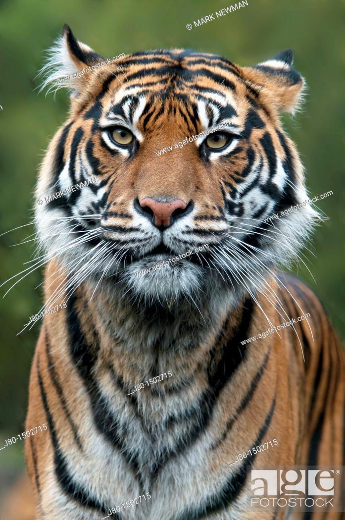 Stock Photo: Sumatran Tiger (Panthera tigris sumatrae).