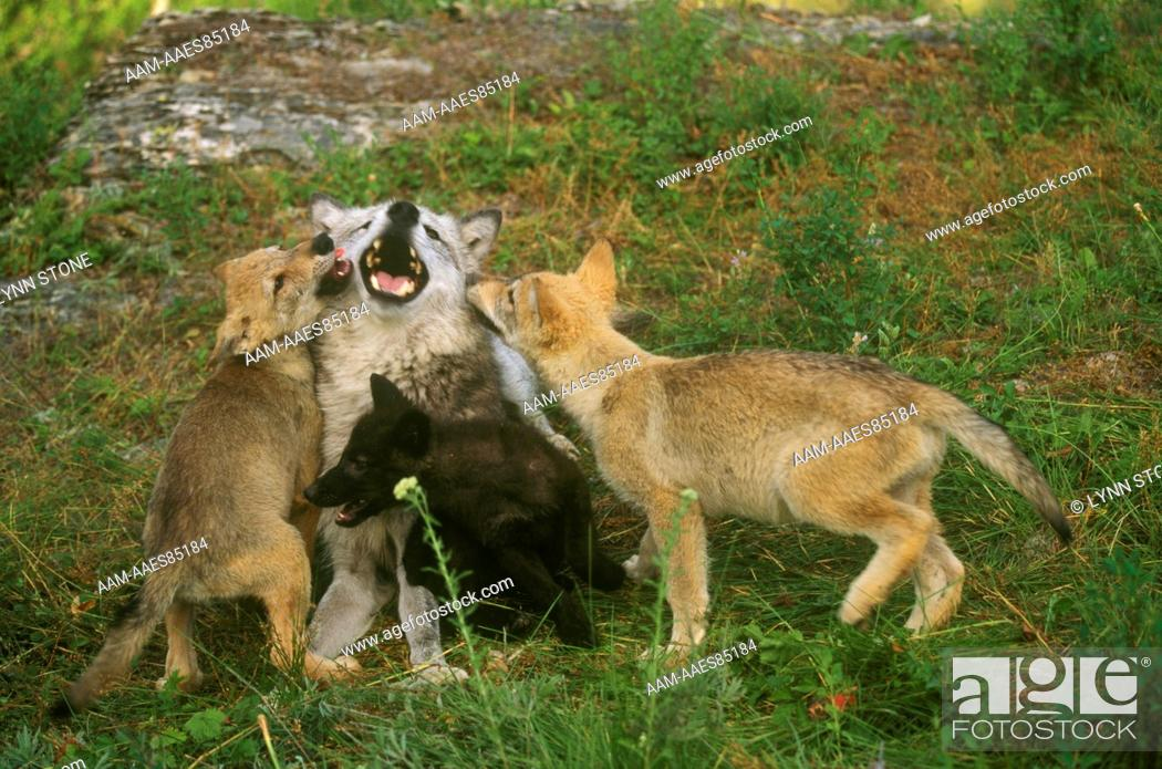 Stock Photo: Gray Wolf, adult with three pups, different colors.