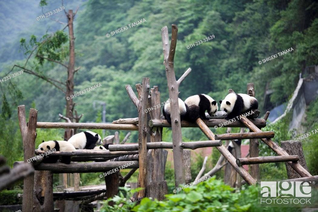 Stock Photo: Giant pandas, Wolong, Wenchuan, Sichuan, China.