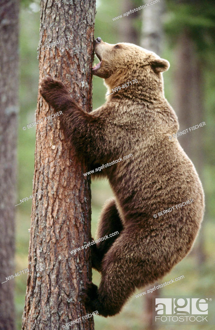 Stock Photo: Brown bear (Ursus arctos). Spring. Climbing up a pine. Pine forest of Carelia near the Russian border. Finland.