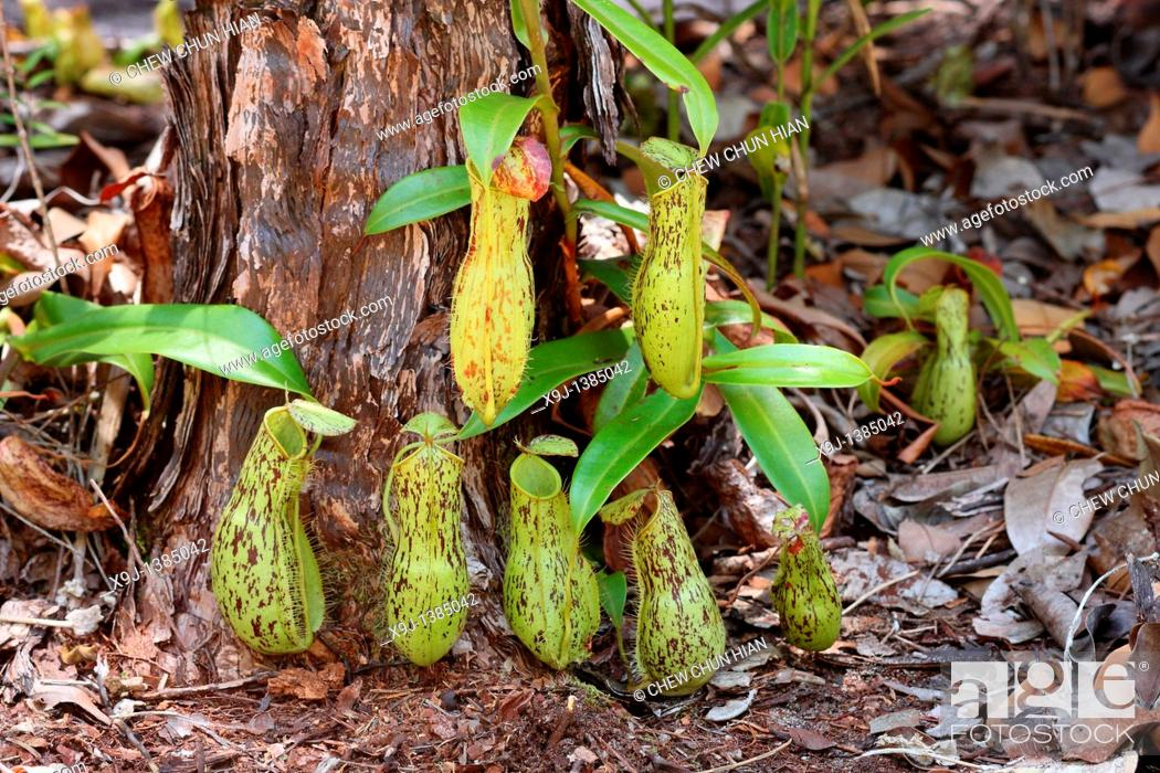 Stock Photo: Pitcher Plant, Nepenthes xkuchingensis, Borneo.