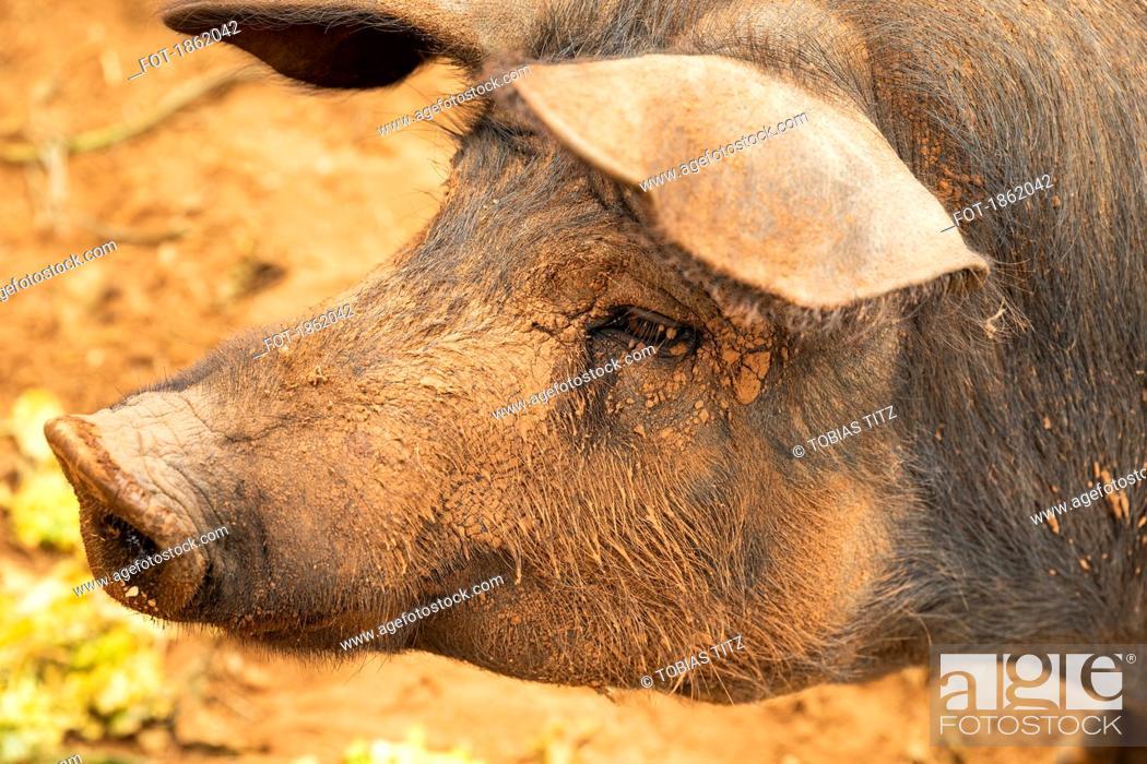 Stock Photo: Close up profile muddy free range pig.