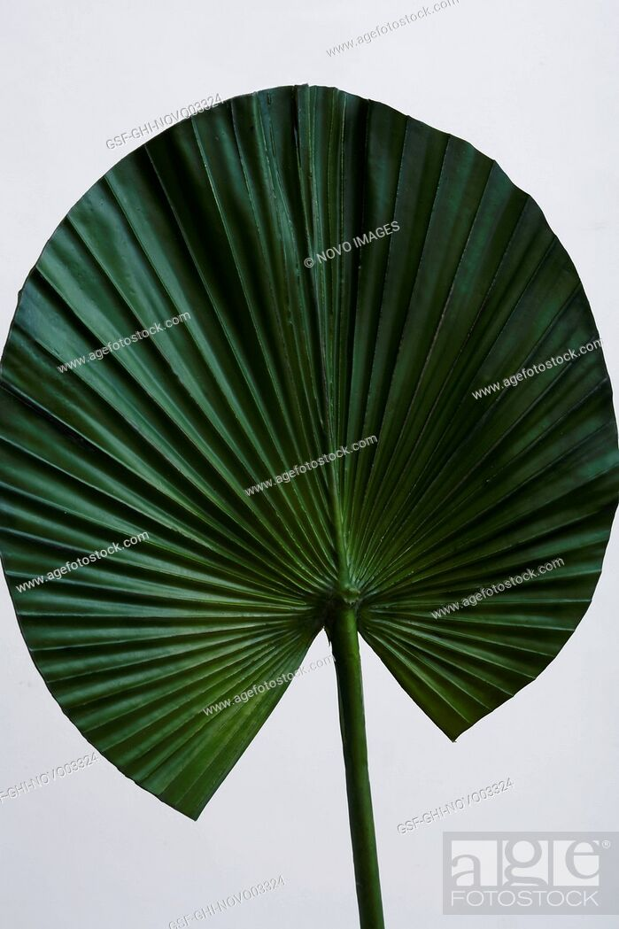 Stock Photo: Green Fan Leaf on White Background.