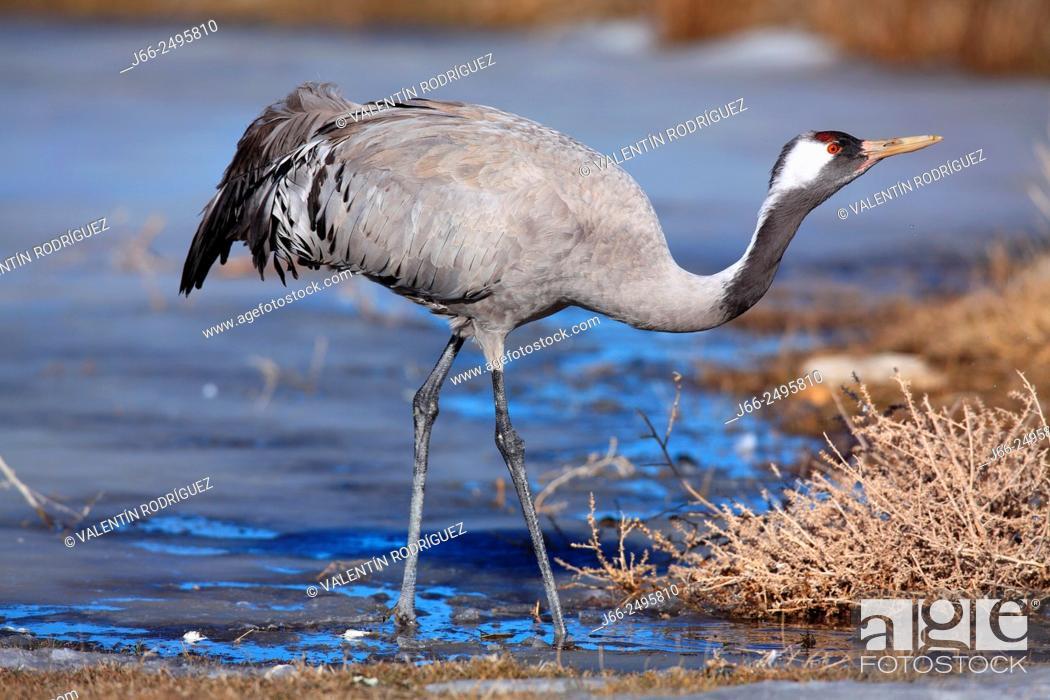 Stock Photo: Crane (Grus grus) in the wildlife reserve Gallocanta. Zaragoza. Spain.