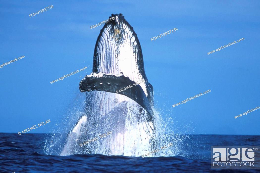 Stock Photo: Humpback Whale Megaptera novaeangliae Adult breaching. AuAu Channel between Maui and Lanai in Hawaii, USA. Pacific Ocean.