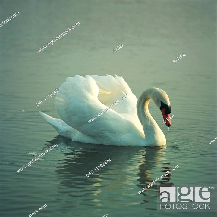 Stock Photo: Zoology - Birds - Anseriformes - Male Mute Swan (Cygnus olor) on water, defending territory.
