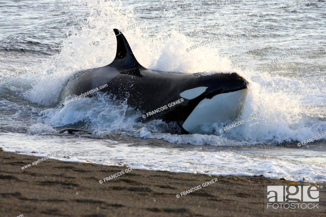 Imagen: Killer whale; Orca.Orcinus orca.Hunting South American sea lion pups in the surf at Punta Norte, Valdes Peninsula, Province Chubut, Patagonia, Argentina.