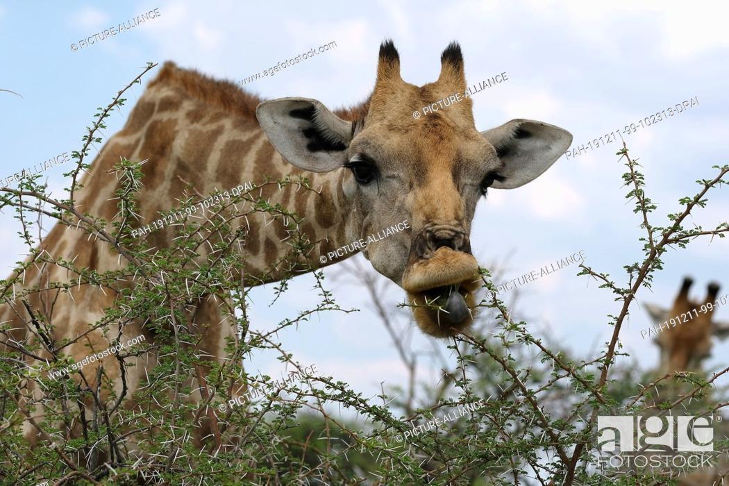 Stock Photo: 28 November 2019, Namibia, Etosha-Nationalpark: A giraffe eats leaves in Etosha National Park. Photo: Oliver Berg/dpa. - Etosha-Nationalpark/Namibia.