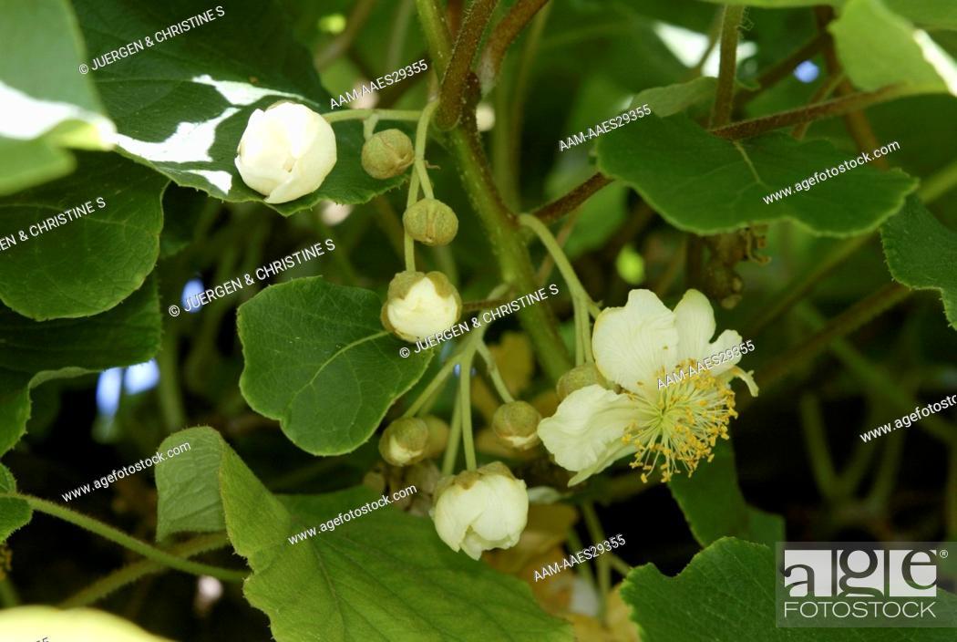 Stock Photo: Kiwi (Actinidia chinensis), Blossoms on Tree.