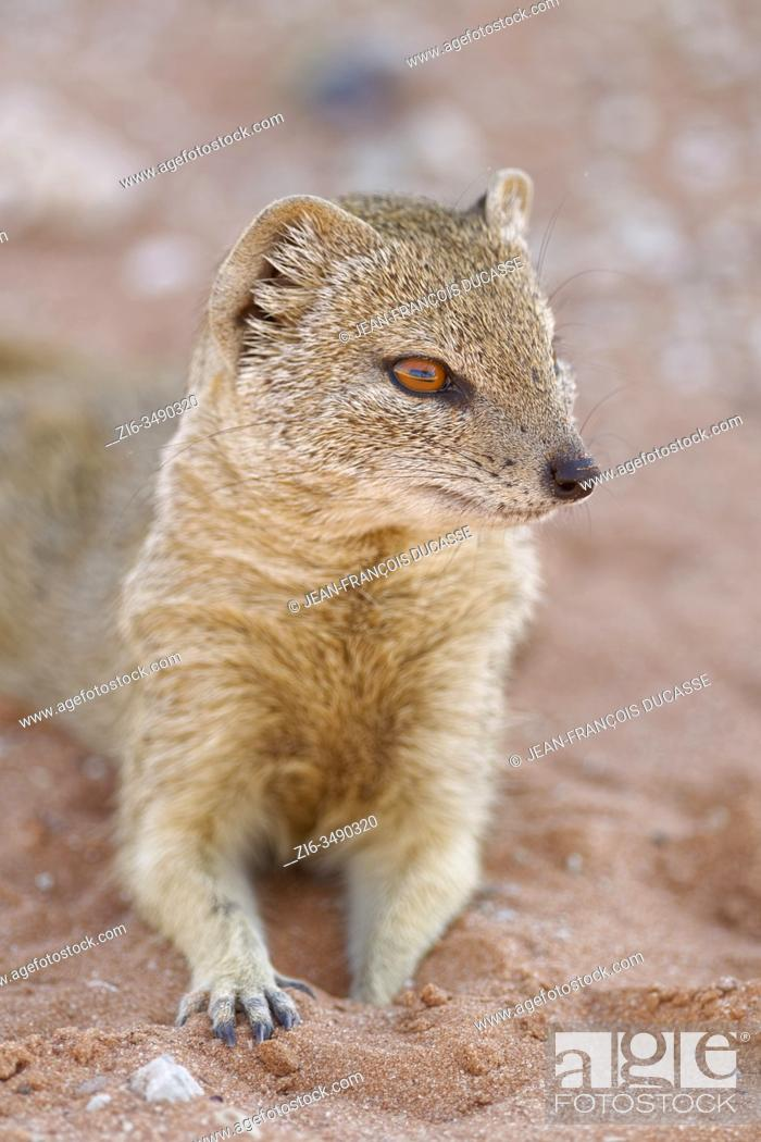 Stock Photo: Yellow mongoose (Cynictis penicillata), adult, lying on the sand, alert, Twee Rivieren rest camp, Kgalagadi Transfrontier Park, Northern Cape, South Africa.