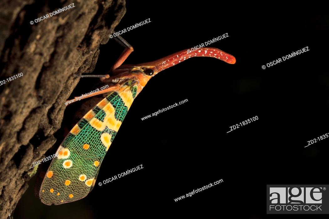 Imagen: Lantern Bug Laternaria candelaria perched on trunk  Khao Yai National Park  Thailand.