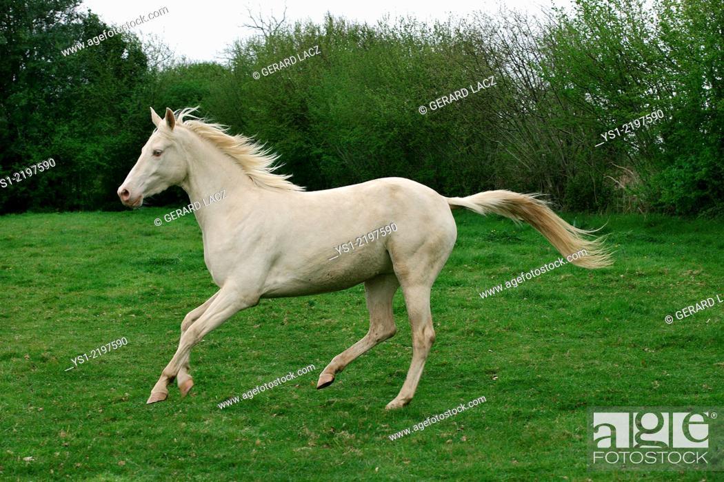 Stock Photo: AKHAL TEKE, A HORSE FROM TURKMENISTAN.