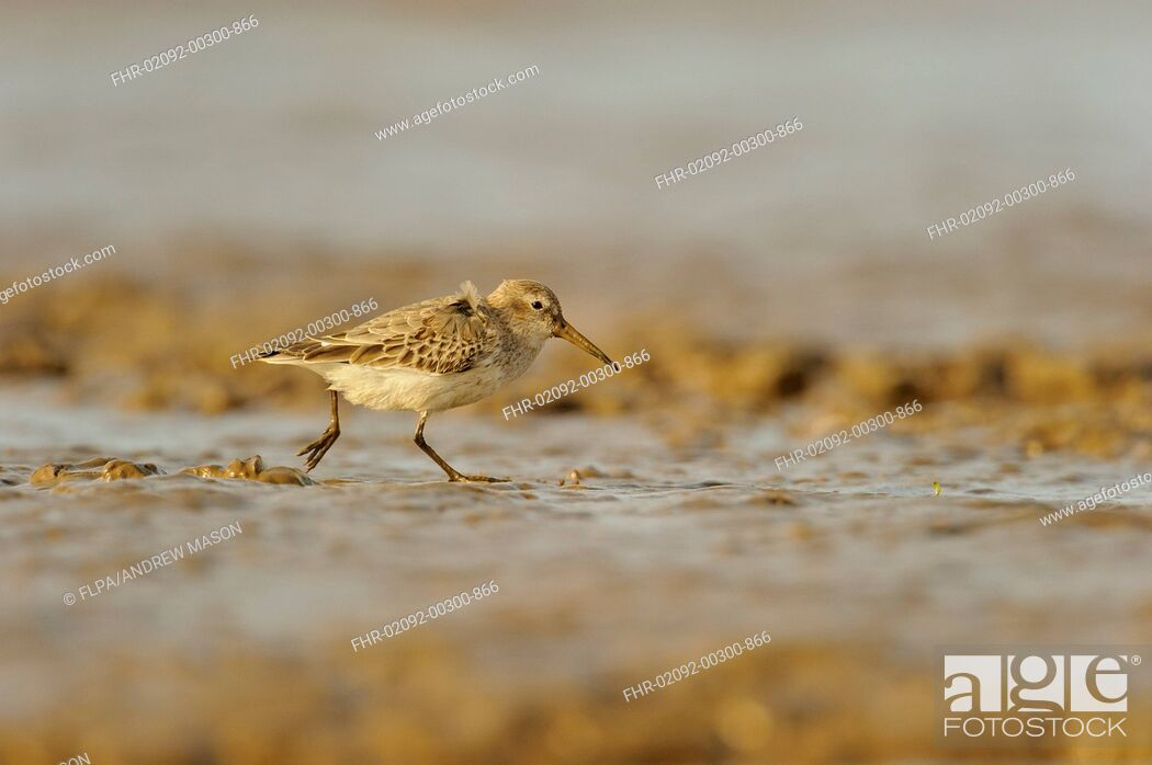 Stock Photo: Dunlin (Calidris alpina) adult, non-breeding plumage, feeding on mudflats, Snettisham RSPB Reserve, The Wash, Norfolk, England, October.