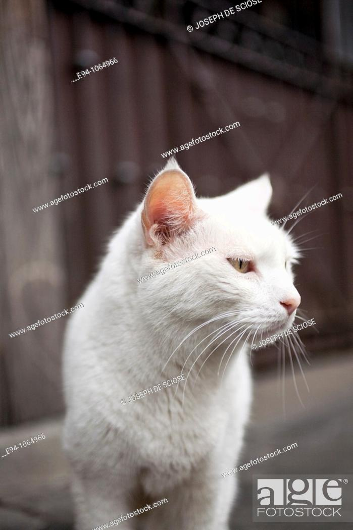 Stock Photo: White cat walking on the sidewalk in the French Quarter in New Orleans.