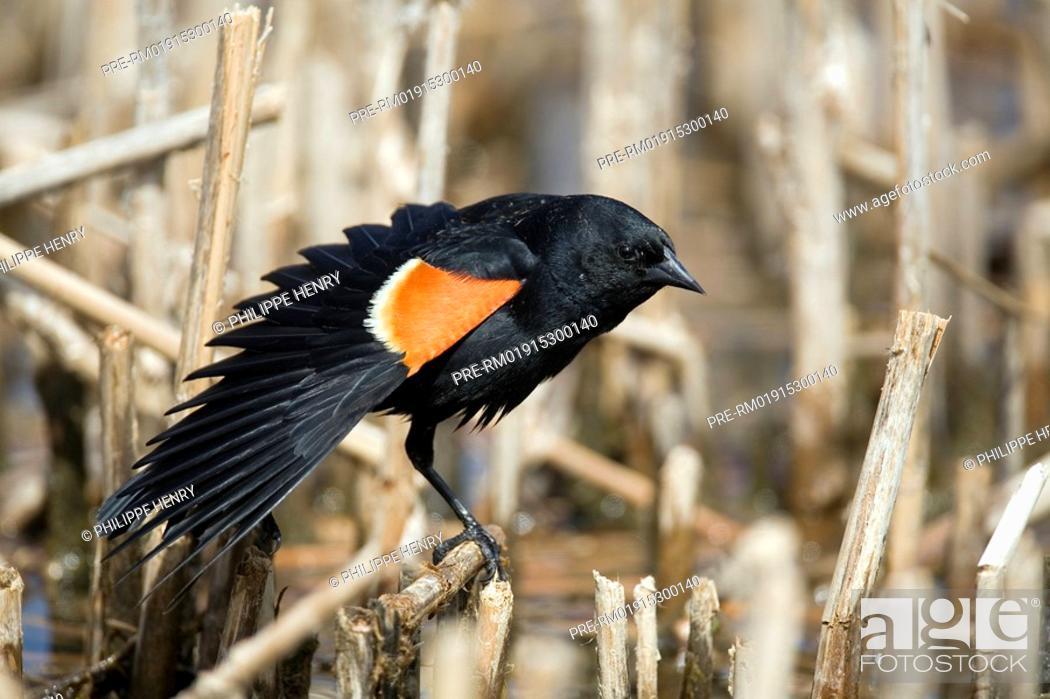 Stock Photo: Red-winged blackbird, Agelaius phoeniceus.