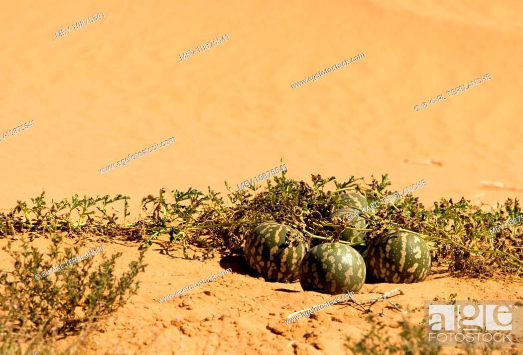 Stock Photo: Tsamma Melon on Red Kalahari Sand. Kalahari Desert - Kgalagadi National Park - South Africa.