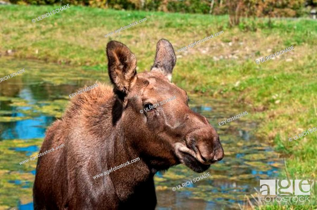 Stock Photo: Moose calf on a sunny day.